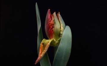 обоя цветы, тюльпаны, тюльпан, черный, фон, бутон, цветок, листья