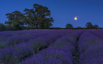 обоя цветы, лаванда, поле, луна, ночь, пейзаж, картинки
