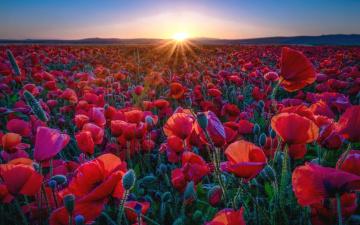 обоя цветы, маки, красные, лепестки, солнце