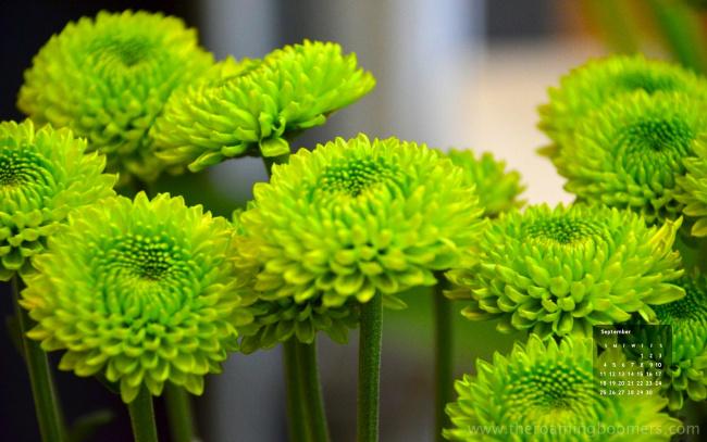 Зеленые хризантемы цветы