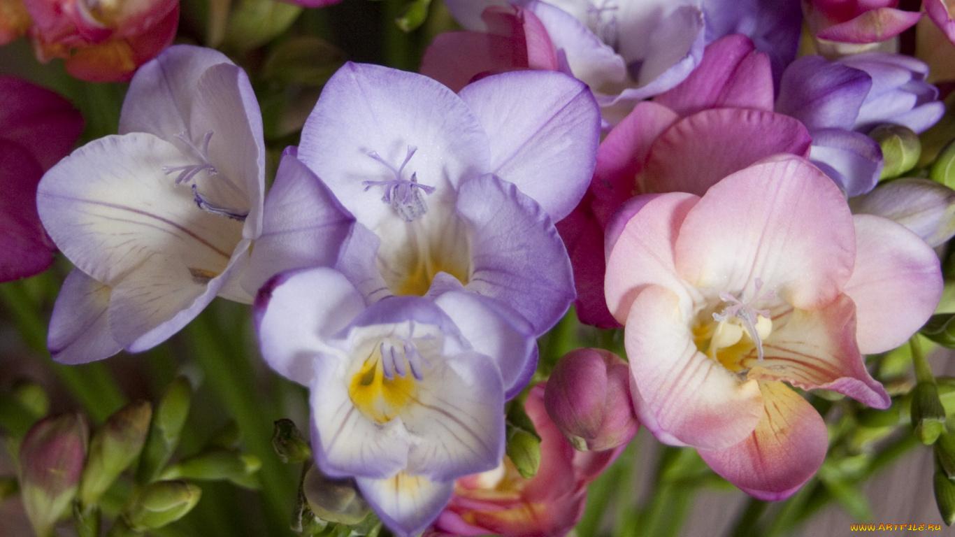цветы фрезии фото
