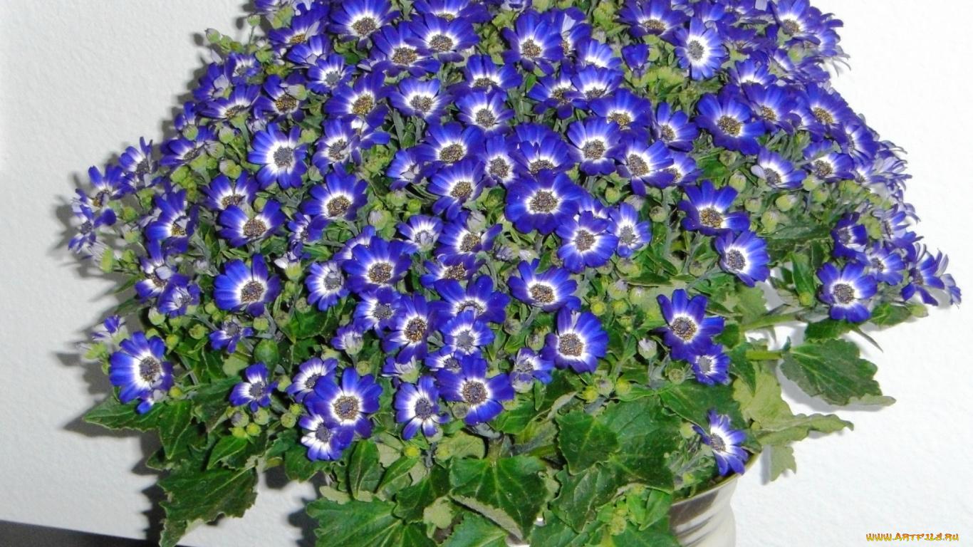 Цветок цинерарий фото уход комнатная