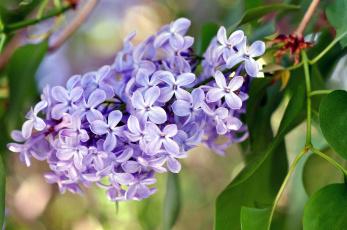 Картинка цветы сирень ветка