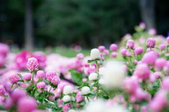Цветы клевер  № 1341220  скачать