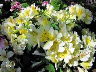 обоя цветы, альстромерия, крапинки, белый
