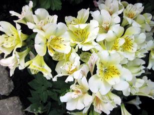 обоя цветы, альстромерия, нежность