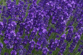 обоя цветы, лаванда, лиловый