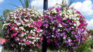 обоя цветы, петунии,  калибрахоа, сурфиния