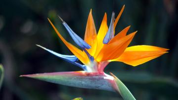 Картинка цветы стрелиция+ райская+птица экзотика