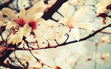 обоя цветы, цветущие деревья ,  кустарники, цветение, ветки, дерево