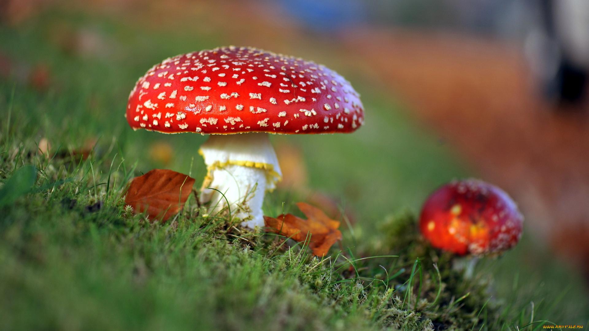 природа гриб мухомор макро трава загрузить