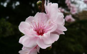 Картинка цветы сакура вишня