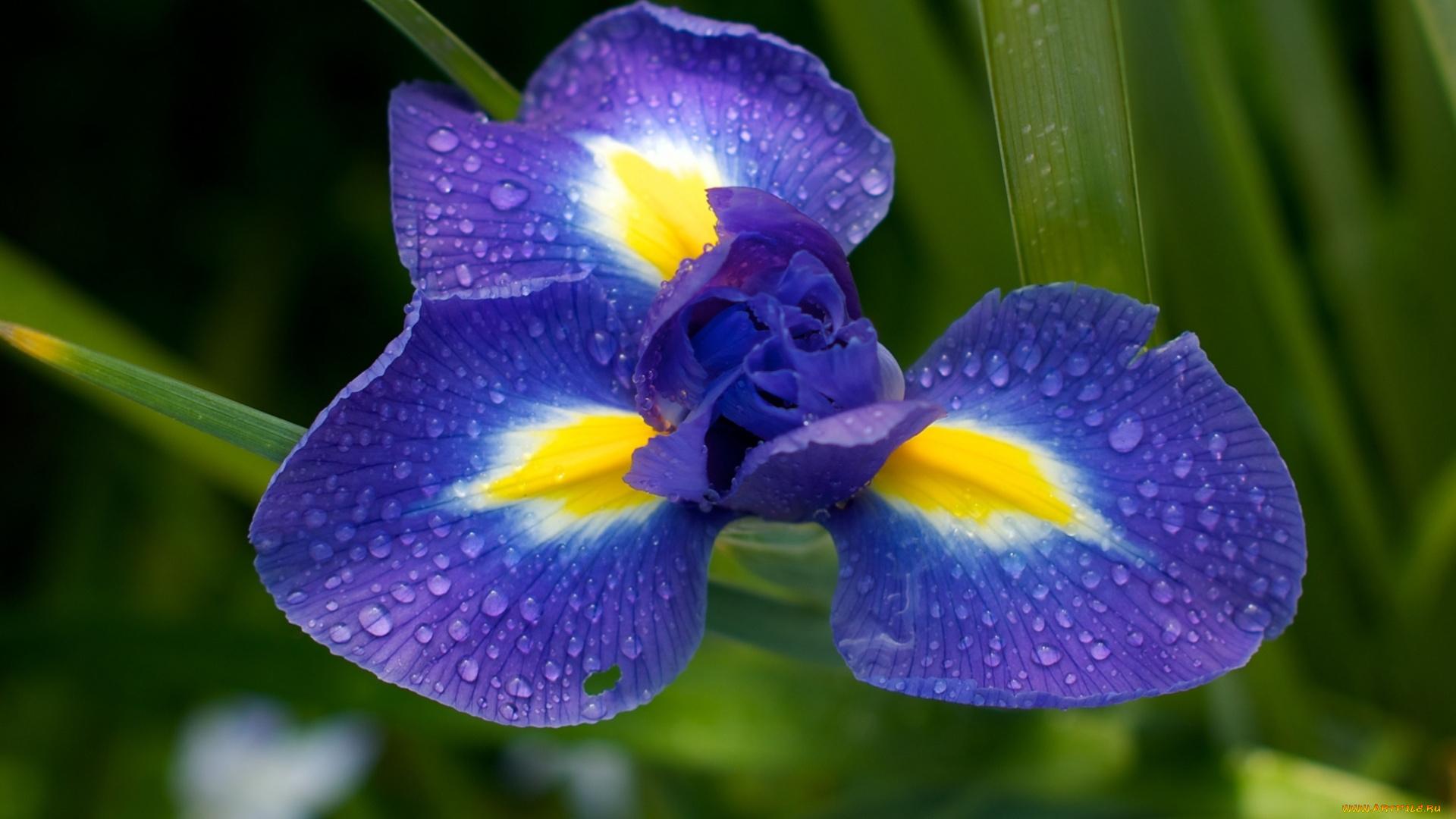 дождь, капля, цветок, ирис, лето без смс