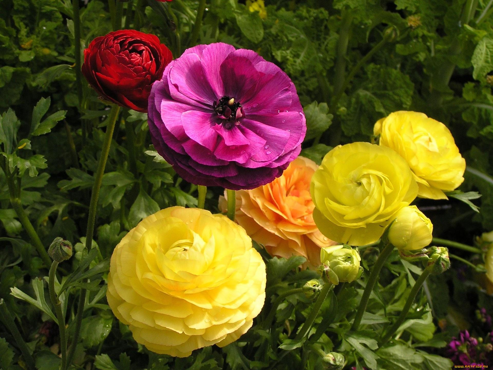 Спокойной, картинки лютики цветочки