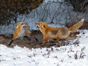 Картинка животные лисы игра