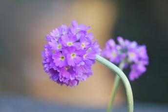 Картинка цветы сиреневые мелкие шарики макро