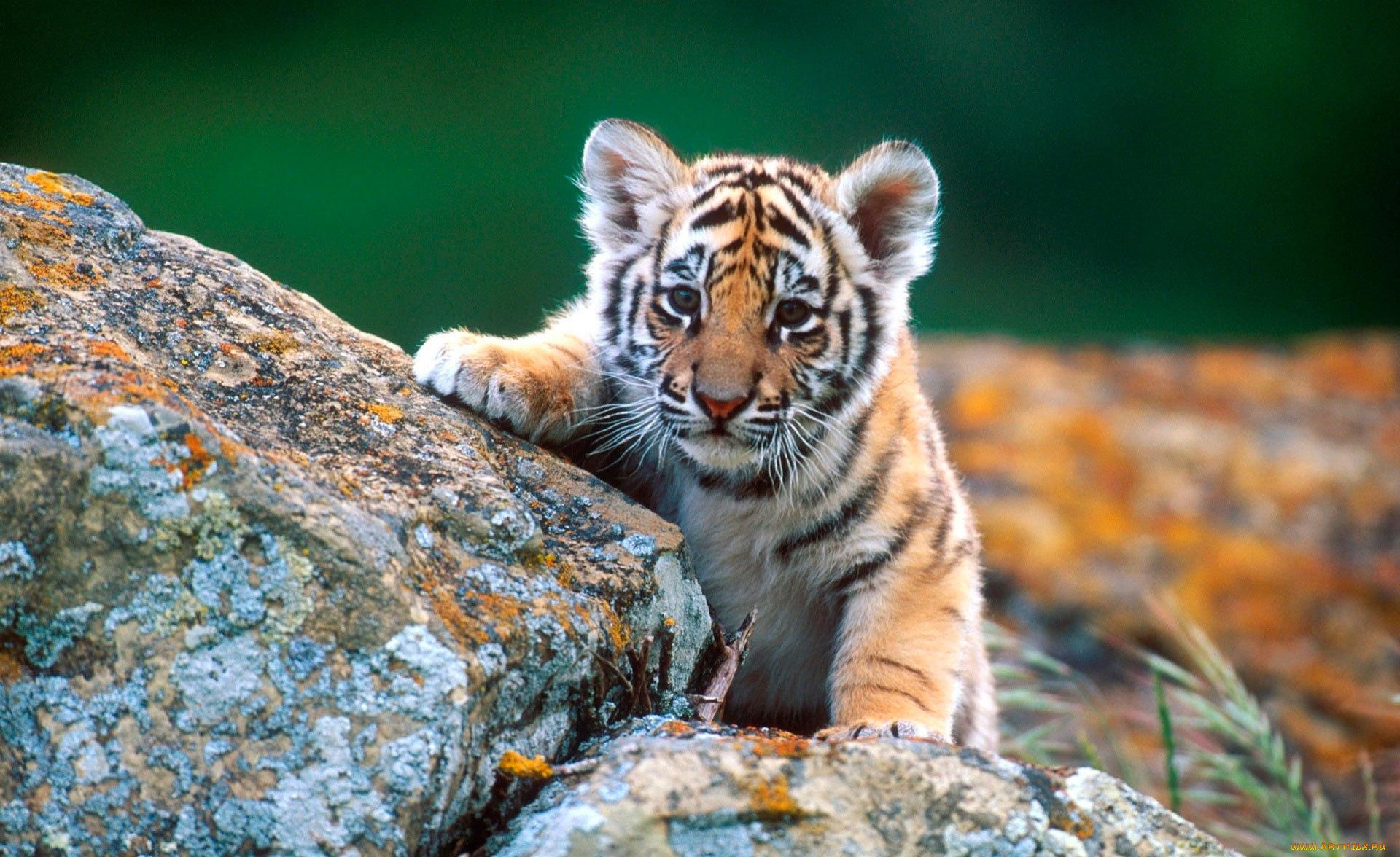 Тигрята картинки, карандашом
