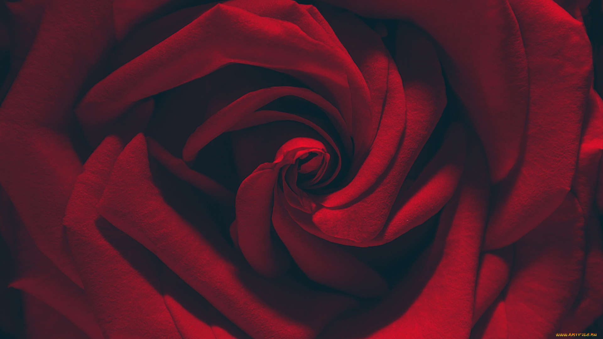Алая роза без смс