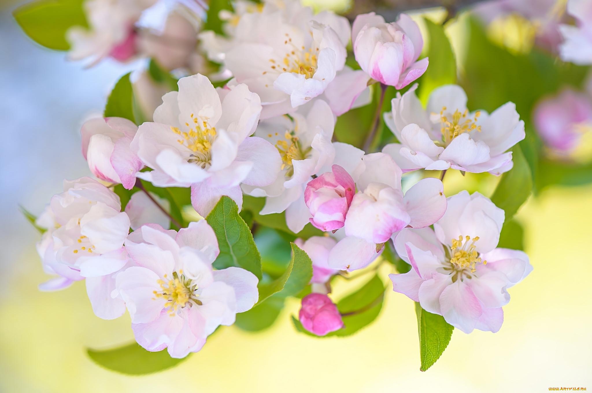 Днем рождения, картинка с яблоневым цветом