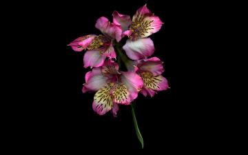 обоя цветы, альстромерия, ветка