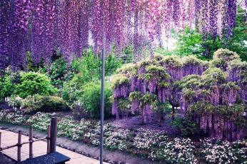 Картинка цветы глициния фиолетовый вистерия