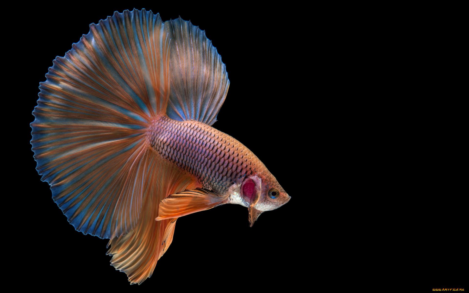 Желтая Рыба макро  № 1088190  скачать