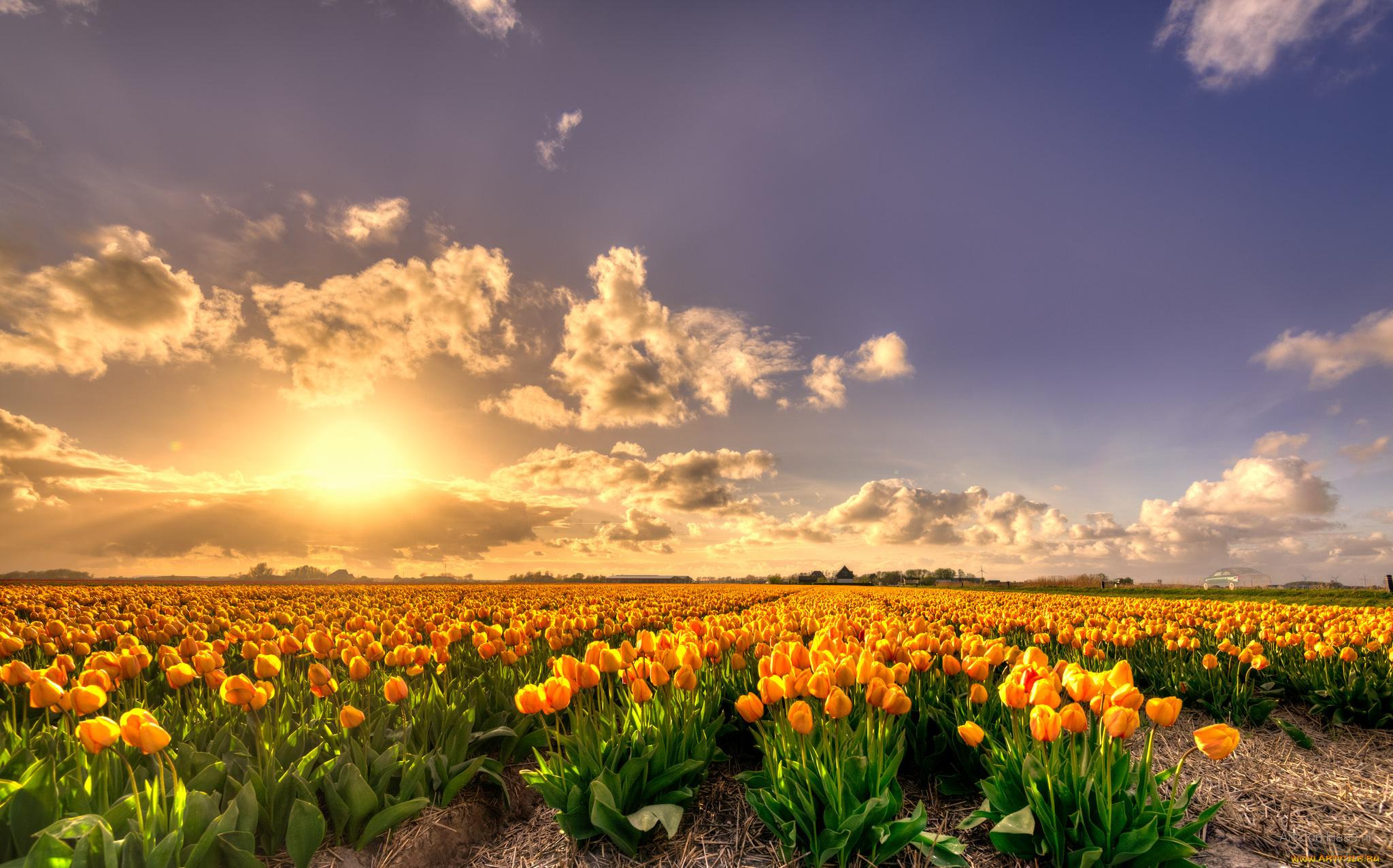 По соннику поле тюльпанов предрекает, что совсем скоро в вашей жизни произойдет событие, которое серьезно затронет ваши чувства.