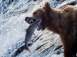 обоя животные, медведи, аляска, медведь, рыба, река, рыбалка, гризли, вода, улов