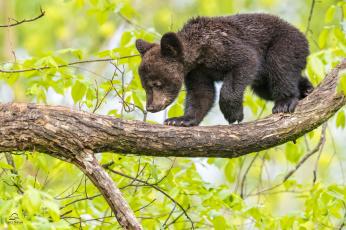 обоя животные, медведи, медвежонок, дерево, малыш