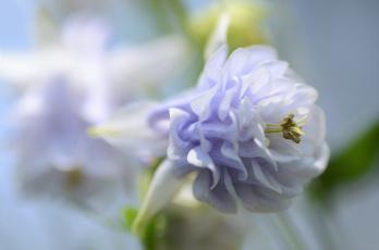 обоя цветы, аквилегия , водосбор, нежность