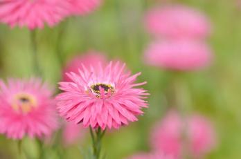 обоя цветы, гвоздики, розовые