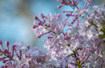 обоя цветы, сирень, весна, нежность, макро