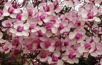 обоя цветы, цветущие деревья ,  кустарники, цветение, куст