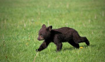 обоя животные, медведи, животное, большой, шерсть, мишка, медведь
