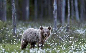обоя животные, медведи, лето, медведь, природа