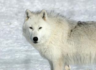 Картинка животные волки