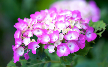 Картинка цветы гортензия макро соцветие