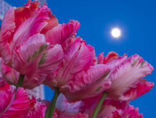 обоя цветы, тюльпаны, стебель, лепестки, луна, небо