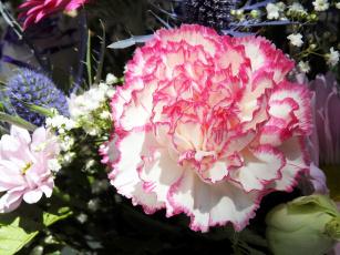обоя цветы, гвоздики, макро