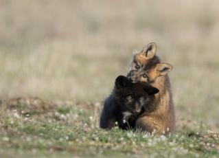 обоя животные, лисы, детеныши, игра, природа, лиса