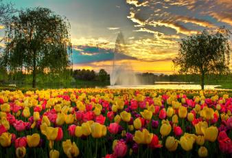 обоя цветы, тюльпаны, сша, фонтан, парк, вечер, облака, небо