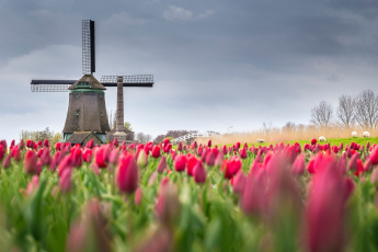 обоя разное, мельницы, нидерланды, тюльпаны, весна, мельница, поле, цветы