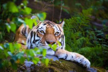 обоя животные, тигры, природа, листья, макро, кошка, тигр