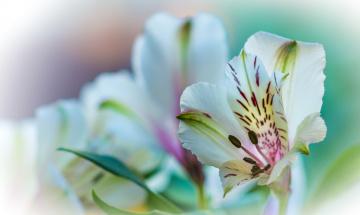 обоя цветы, альстромерия, цветок, природа, растение, лилия, лепестки