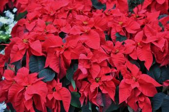 обоя цветы, пуансеттия, цветение, красная, листья
