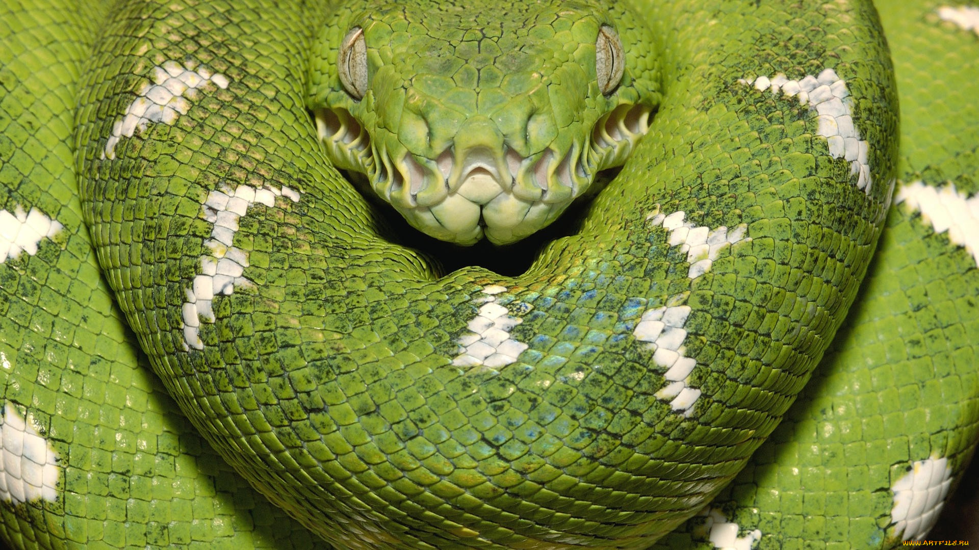 The green tree snake is slender with a whiplike tail and a head that is slightly wider than the body Its eyes are large with rounded pupils