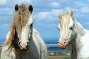 обоя животные, лошади, грива, пара, кони