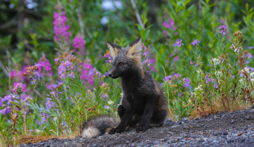 обоя животные, лисы, животное, трава, лисица, природа, цветы