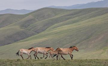 обоя животные, лошади, холмы, жеребенок, пржевальского, табун