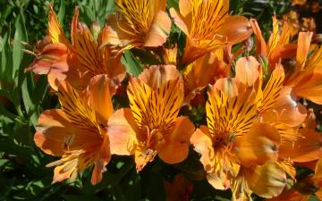 обоя цветы, альстромерия, альстрёмерия, оранжевые